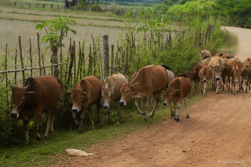 vang-vieng-cow