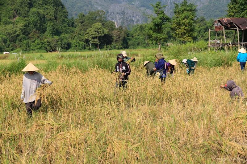 vang-vieng-rice-reaping
