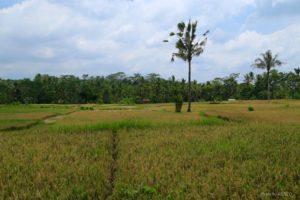 Bali-rice